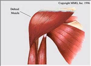 deltoid muscle picture 6