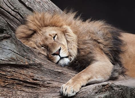 a lion was asleep picture 1
