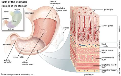 diagram of longitudinal muscle layer picture 6