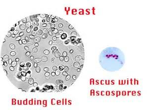 ascus yeast infection picture 6