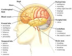 cerebral blood flow motor cortex picture 14