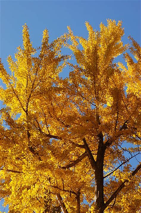 information on the ginkgo tree picture 13