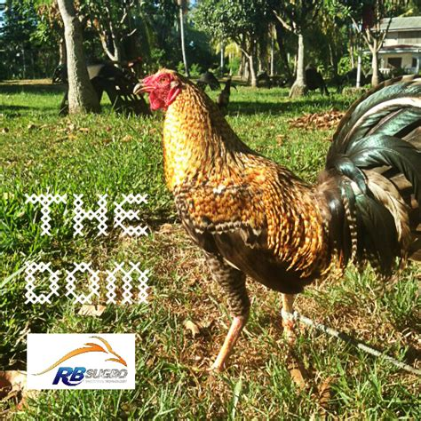how to administer testosterone to gamefowl picture 1