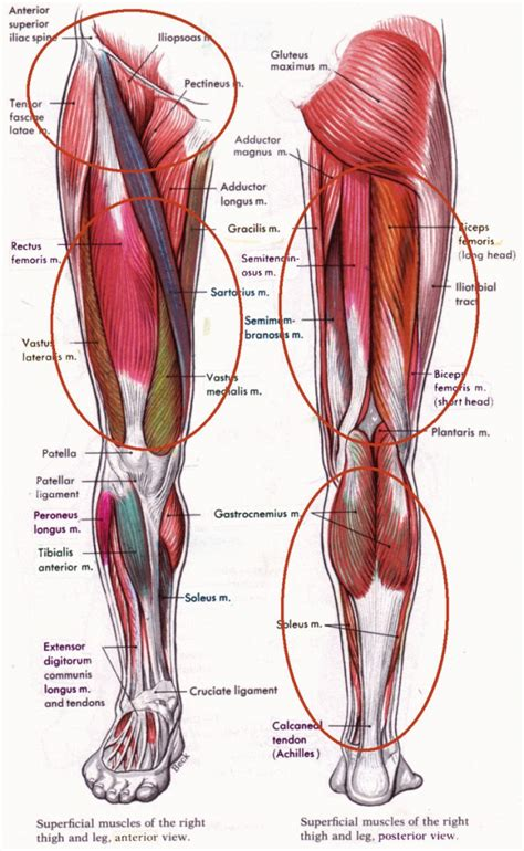 lower body muscle diagram picture 10