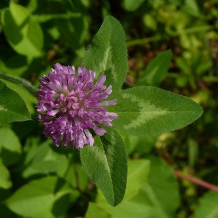 red clover breast cancer picture 3