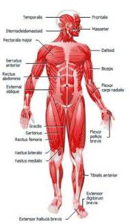 a study of the mind muscle and its picture 18