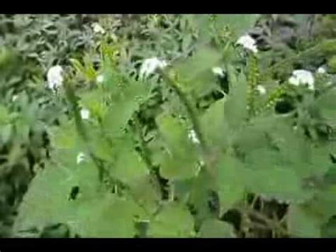 herbal plants in the philippines for abortion picture 3