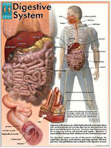 anatomy digestion picture 15