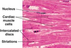 cardiac muscle cells are picture 15
