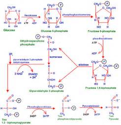 where does digestion of carbohydrates begin picture 10