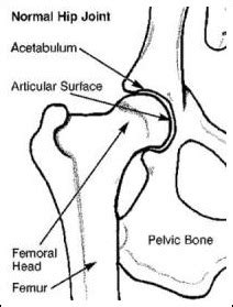 canine hip joint photos picture 7