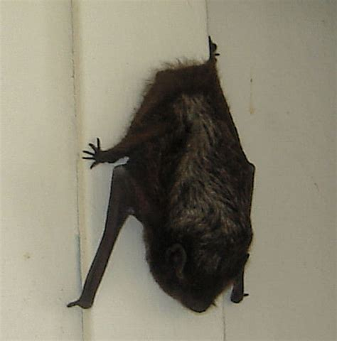 pictures of bats sleeping picture 6
