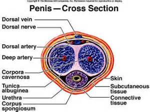 detailed diagram of the human penis picture 5