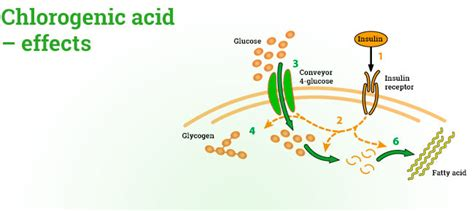 chlorogenic picture 6