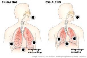 diaphram muscle for breathing picture 14