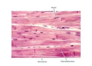 contraction in cardiac muscle tissue picture 13
