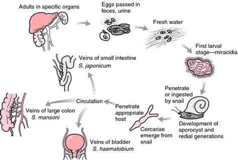 flukes in bladder picture 15