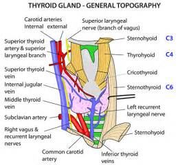 anatomy of thyroid gland picture 18