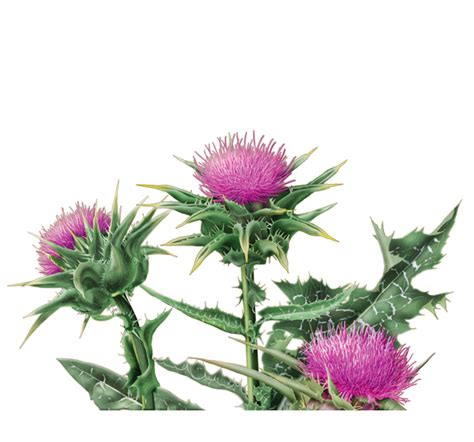 edible thistle picture 7