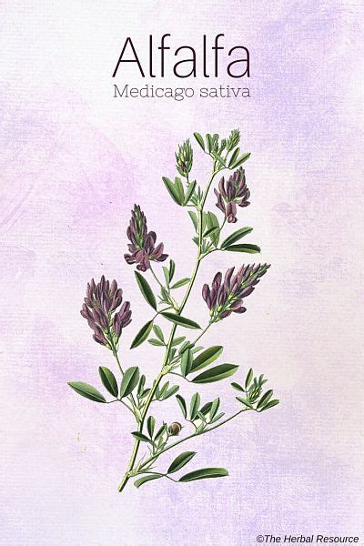 homeopathic alfalfa-health benefits picture 11