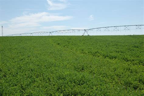 alfalfa supplements picture 2