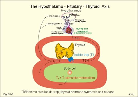 antone try t4 t3 protocol with hypothyroidism picture 9