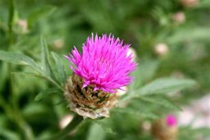 thistle flower picture 15
