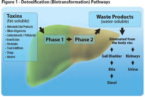 can body cleanse elevate liver enzymes picture 3