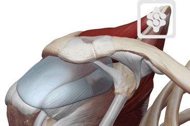 ac joint muscles picture 2