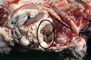 is liver failure in canines due to old picture 14
