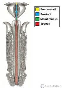 urethra picture 7