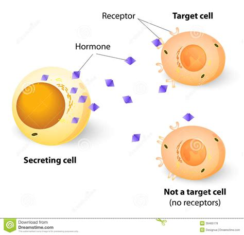the hormone testosterone functions inside a cell by picture 7