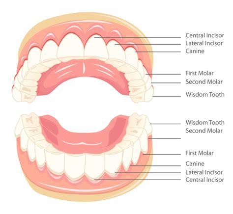 what teeth are your wisdom teeth picture 10