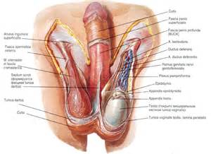 penis muscle pctures picture 7