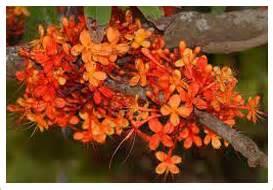 ayurvedic herb brahmi and its bengali cousin herb picture 13