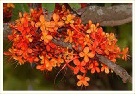ayurvedic herb brahmi and its bengali cousin herb picture 9