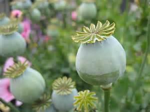 buy opium poppy herbal medicine picture 3