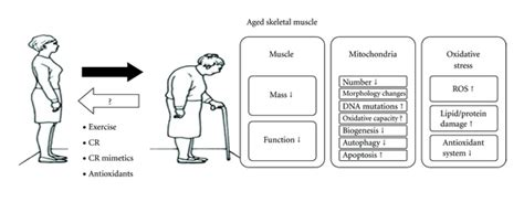 aging of a skeletal muscle paffenbarger picture 4