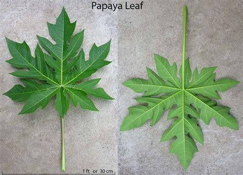 Papaya Leaf picture 6