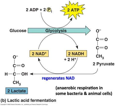 lactic acid yeast for fat loss picture 13