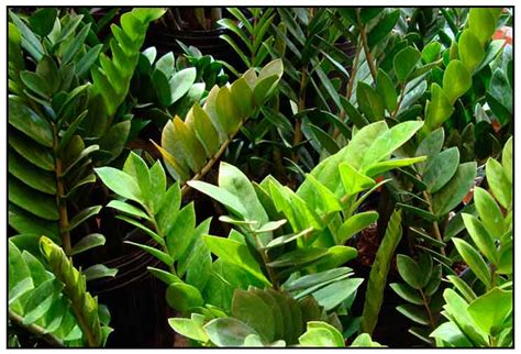 herbal plants in the philippines and their uses picture 5