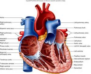 blood flow to front of heart picture 5