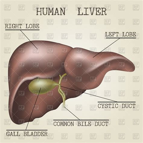 anatomy human liver picture 9