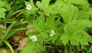 goldenseal picture 2