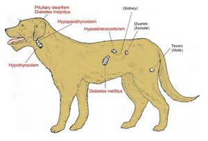 dog thyroid glands picture 13