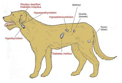 animal thyroid picture 14
