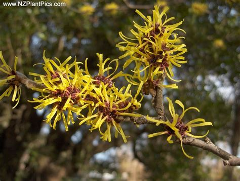 witch hazel for hemorrhoids picture 14