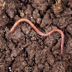 earth worm in picture 1