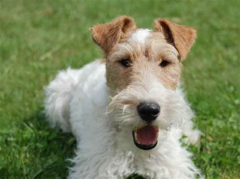 wire hair terrier picture 15