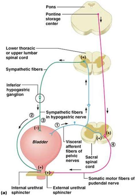 spastic bladder picture 6